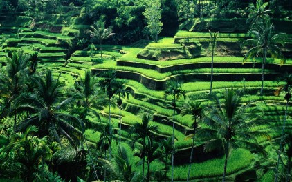 rice-terraces-bali_422_74061