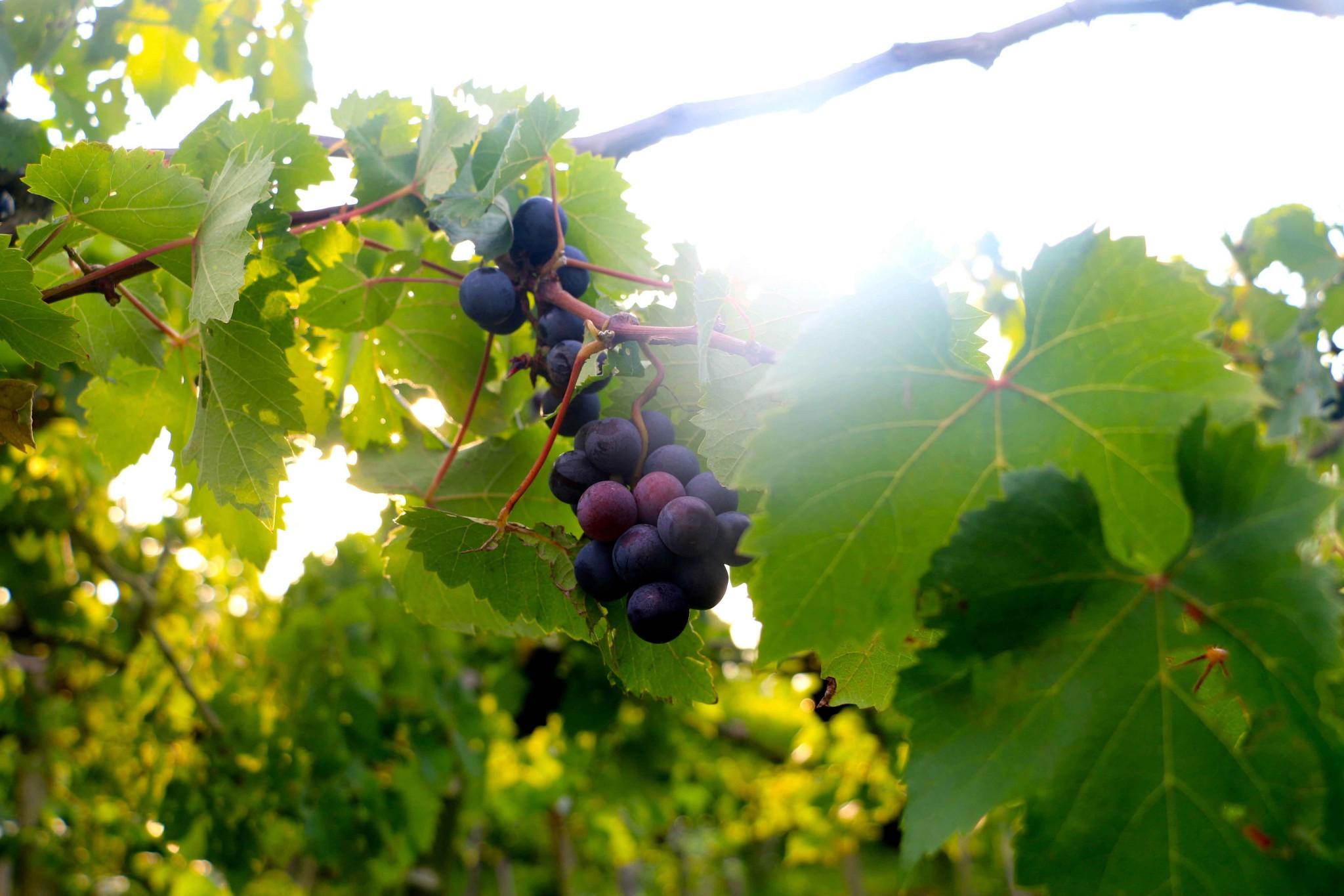 bali-grapes