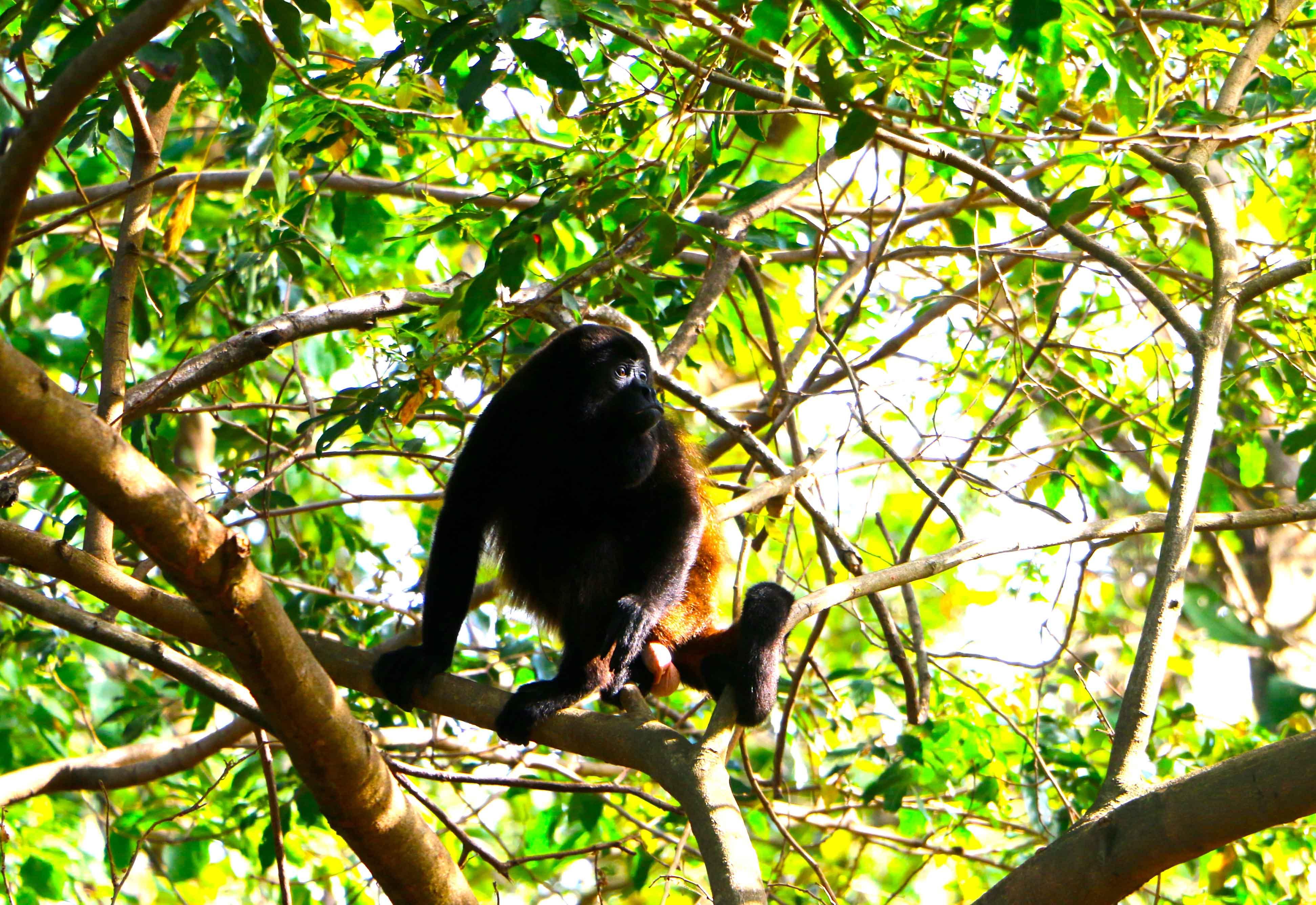 howler monkey ometepe