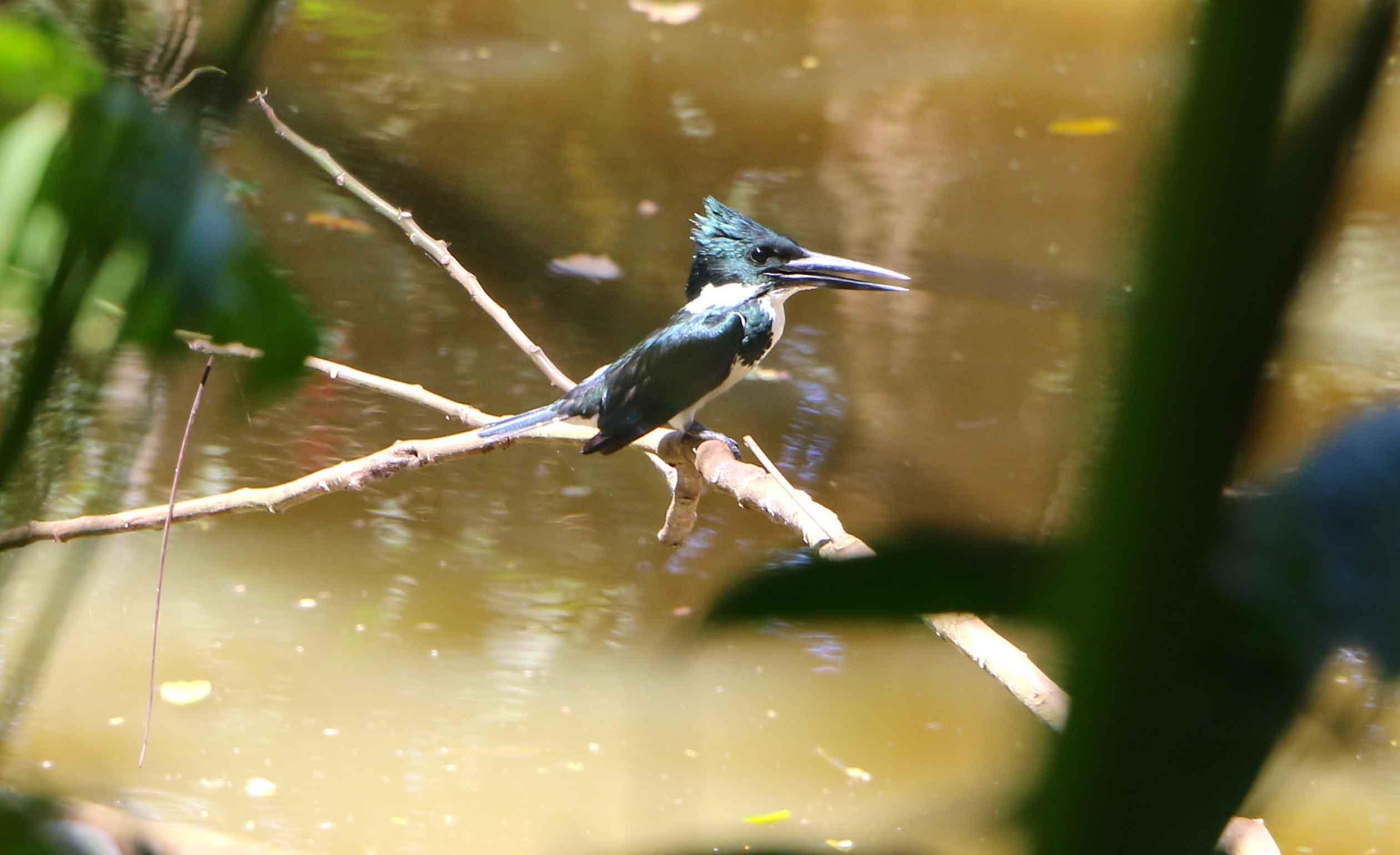 los guatuzos kingfisher